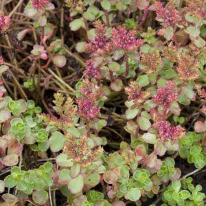 Sedum spurium rouge – Le lot de 3 godets