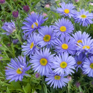 Aster nain de printemps bleu violace – Le lot de 3 godets