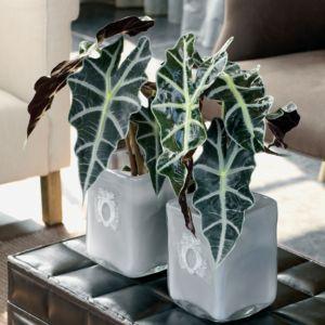 Alocasia 'Polly Bambino'- pot diamètre 12 cm, hauteur totale 30 cm- PLANTES ET JARDINS – Jardinerie en ligne