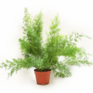 Asparagus 'Sprengeri ' – Pot diamètre 17 cm, hauteur totale 60 cm- PLANTES ET JARDINS – Jardinerie en ligne