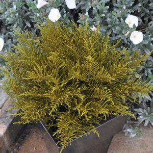 Véronique arbustive ochacea – En pot de 2 litres