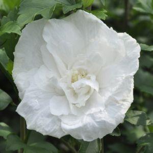 HIBISCUS syriacus White chiffon – En pot de 4 litres