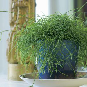 Rhipsalis – Pot diamètre 14cm, hauteur 25cm