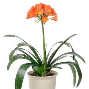 Clivia – Pot diamètre 13cm, hauteur 45cm