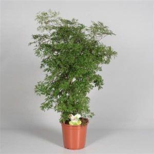 Polyscias 'Ming Vertakt' – Hauteur totale 90 cm, pot diamètre 21 cm – PLANTES ET JARDINS – Jardinerie en ligne