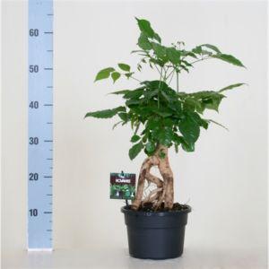 Radermachera 'Vertakt'- Hauteur totale 60 cm, pot 19 cm de diamètre – PLANTES ET JARDINS – Jardinerie en ligne