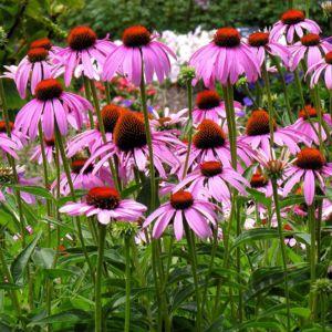 Rudbeckia nain rose  – Le lot de 3 godets