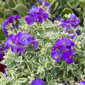 Aubriete bleue panachee – Lot de 3 godets de 7 cm  – PLANTES ET JARDINS – Jardinerie en ligne