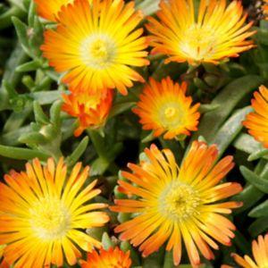 Pourpier vivace WoW 'Fire Wonder'-Lot de 3 godets de 7 cm- PLANTES ET JARDINS – Jardinerie en ligne