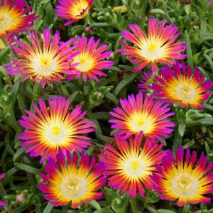 Pourpier vivace WoW 'Hotpink Wonder'- Lot de 3 godets de 7 cm- PLANTES ET JARDINS – Jardinerie en ligne