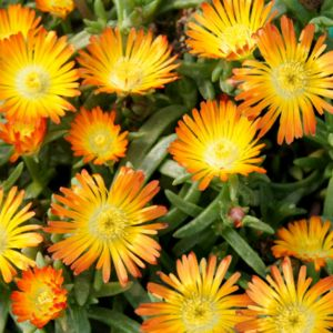 Pourpier vivace WoW 'Orange Wonder'- Lot de 3 godets de 7 cm- PLANTES ET JARDINS – Jardinerie en ligne