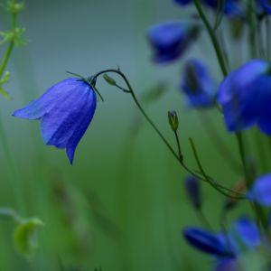 Campanule a large fleur bleu violet – En lot de 3 godets de 7 cm
