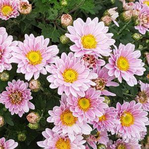 Marguerite d'automne rose – En lot de 3 godets de 7 cm