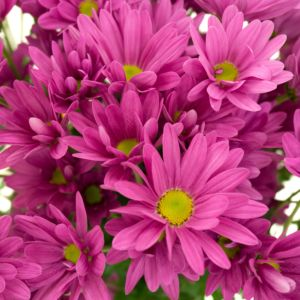 Marguerite d'automne violet – En lot de 3 godets de 7 cm