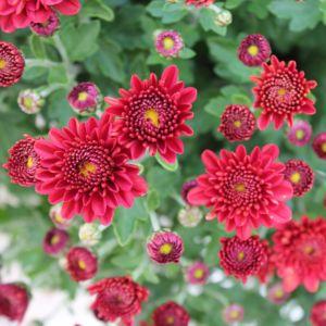 Marguerite d'automne rouge