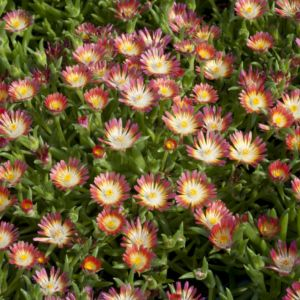 Pourpier vivace rose cerise – Lot de 3 godets de 7 cm