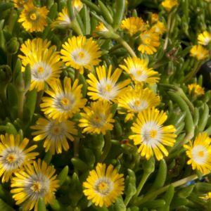 Pourpier vivace jaune à coeur blanc 'Peridott' – Lot de 3 godets de 7 cm