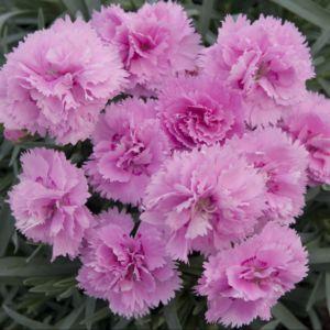 Oeillet nain rose 'Can-Can'  – Lot de 3 godets de 7 cm