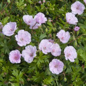 Geranium sanguin rose veiné – En godet de 7 cm