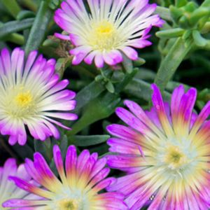 Pourpier vivace WoW 'Violet Wonder'- Lot de 3 godets de 7 cm- PLANTES ET JARDINS – Jardinerie en ligne