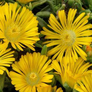 Pourpier vivace WoW 'Yellow Wonder'- Lot de 3 godets de 7 cm- PLANTES ET JARDINS – Jardinerie en ligne