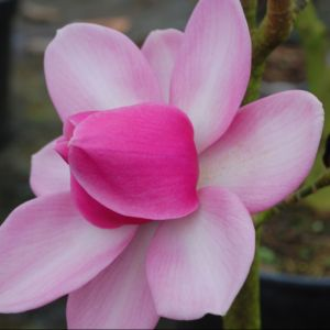 Magnolia 'Aurora' – Pot de 5 litres