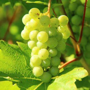 Vigne Italia – En pot de 2 litres