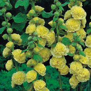 Rose tremiere jaune – En lot de 3 godets de 7 cm