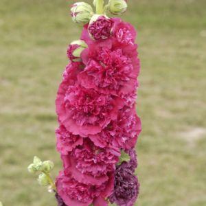 Rose tremiere rose – En lot de 3 godets de 7 cm