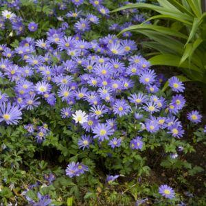 Anenome de grece bleue – En lot de 3 godets de 7 cm