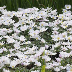 Anemone de grece blanche – En lot de 3 godets de 7 cm