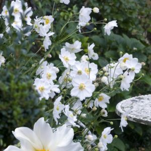 An mone du japon plante d 39 ext rieur gamm vert - Anemone du japon blanche ...