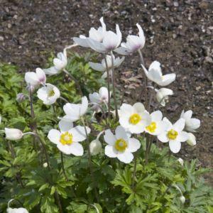 Anemone des forêts blanche – En lot de 3 godets de 7 cm
