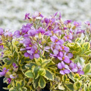 Arabette du caucase rose – En lot de 3 godets de 7 cm