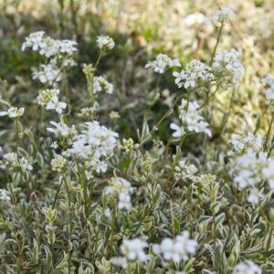 Arabette blanche panachee – En lot de 3 godets de 7 cm