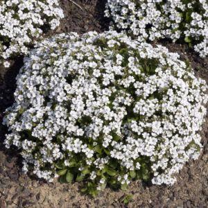 Sagine blanche – En lot de 3 godets de 7 cm