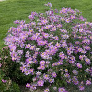 Aster nain de printemps 'Pink Zenith'