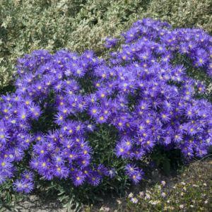 Aster nain de printemps bleu violace – En lot de 3 godets de 7 cm