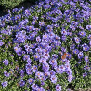 Aster nain d'automne violet – En lot de 3 godets de 7 cm
