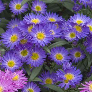 Aster nain d'automne bleu fonce – En lot de 3 godets de 7 cm