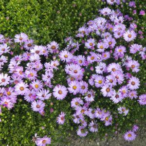 Aster nain d'automne rose – En lot de 3 godets de 7 cm