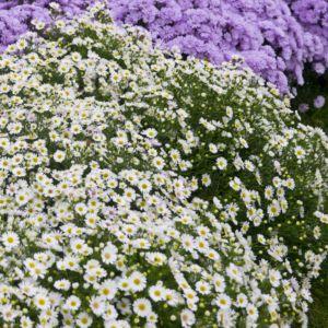 Aster nain d'automne blanc – En lot de 3 godets de 7 cm