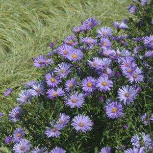 Aster belge bleu fonce violet – En lot de 3 godets de 7 cm