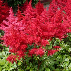 Astilbe rouge – En lot de 3 godets de 7 cm