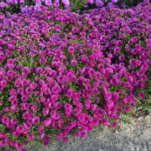 Aster belge rouge pourpre double