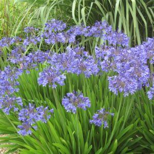 Agapanthe bleue 'Pitchoune'® – Pot de 2 litres