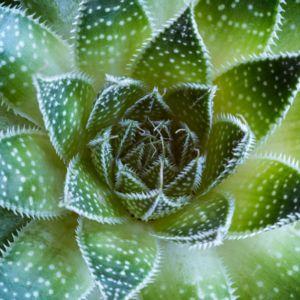 Aloe aristata -En pot de 2 litres