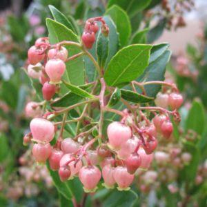 ARBUTUS unedo Rubra (fleur rose) C.5 -En pot de 5 litres