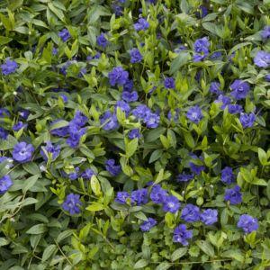 Petite pervenche bleue double – En lot de 3 godets de 7 cm