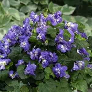 Violette de Toulouse – En lot de 3 godets de 7 cm